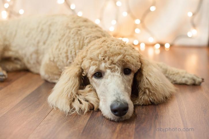 Dog Portrait Photographer01