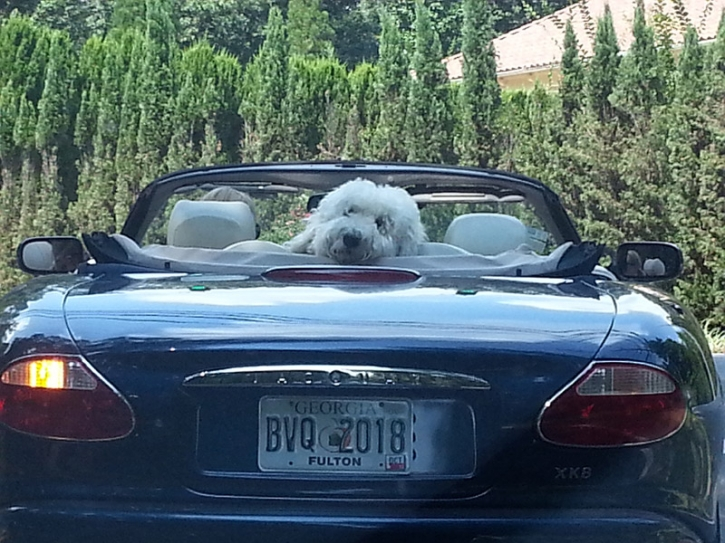 dog-in-jag-crop